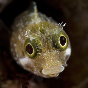 Jawfish with eggs, Bonaire, ocean, casper douma, diving, underwater photography, photography bonaire,