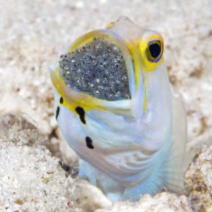 underwater photography bonaire, Jawfish with eggs, Bonaire, ocean, casper douma, diving, underwater photography, photography bonaire
