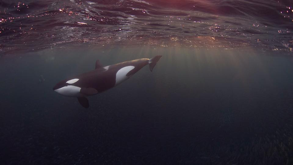 Encounters of nature, orca's, Norway, sea safari , Andenes, fjord
