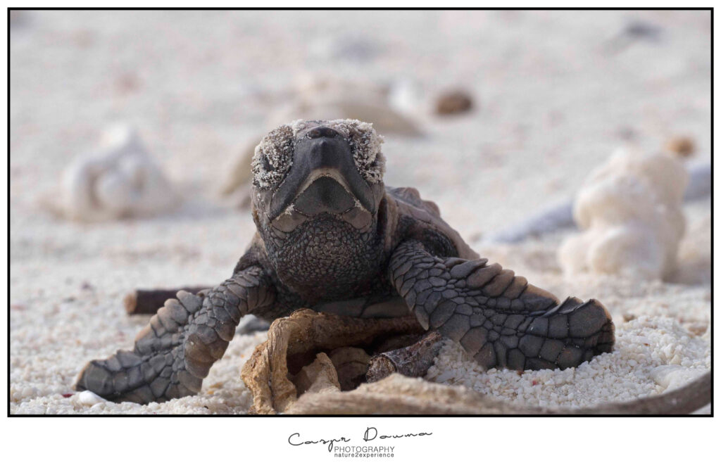 Hatchling on Bonaire