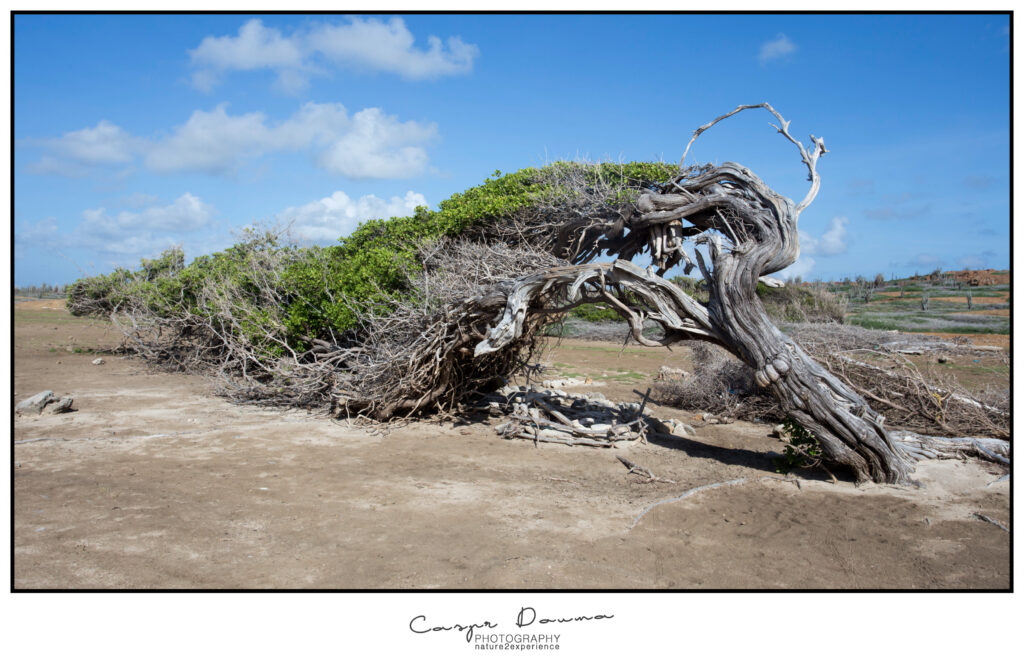 Top 100 pictures of Bonaire, Photographer Bonaire, Bonaire photographer, Longest tree