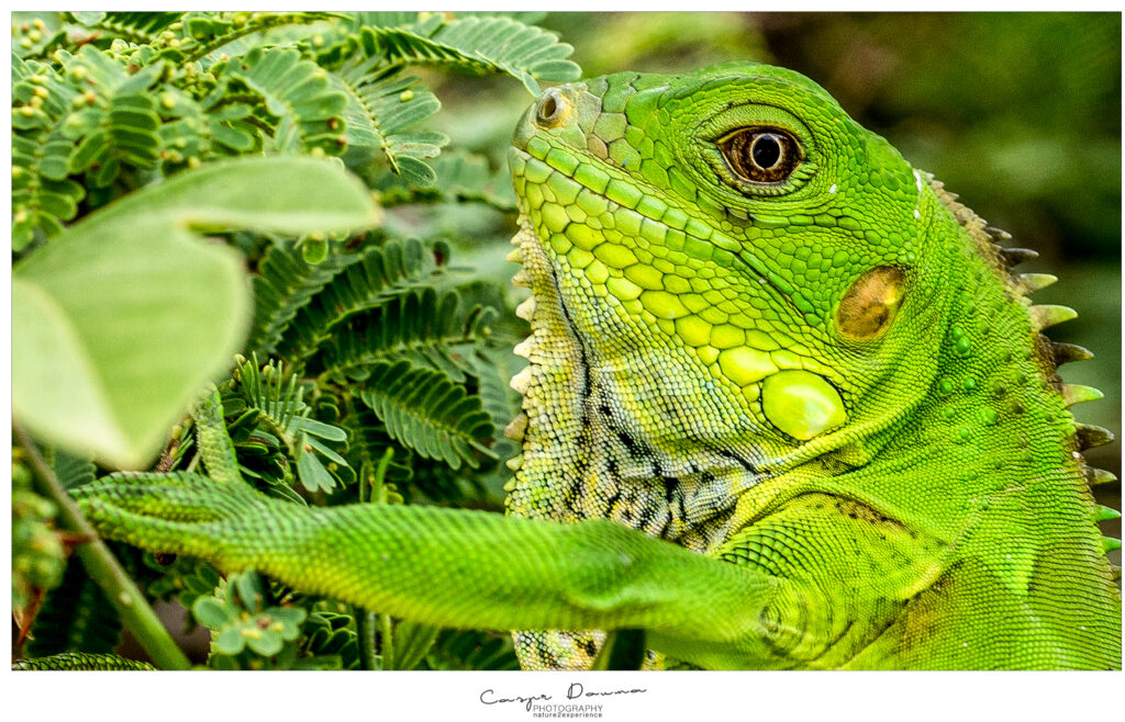 Bonaire in 100 pictures, Iguana, Photographer Bonaire, Bonaire photographer