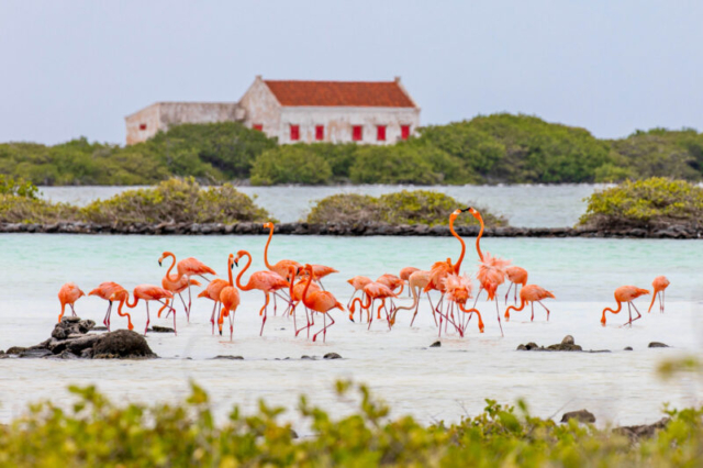 Flamingo and house in the background Red slave Bonaire