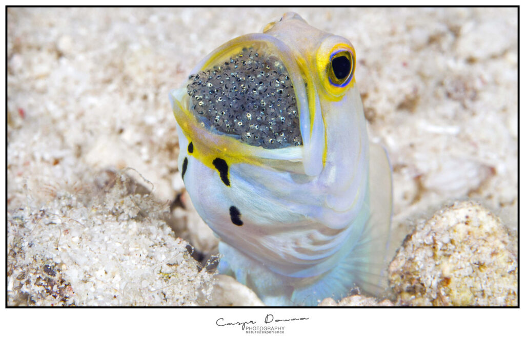 Jawfish with eggs Bonaire, Photographer Bonaire, Bonaire photographer