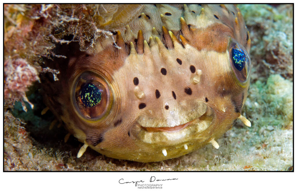 Pufferfish Bonaire