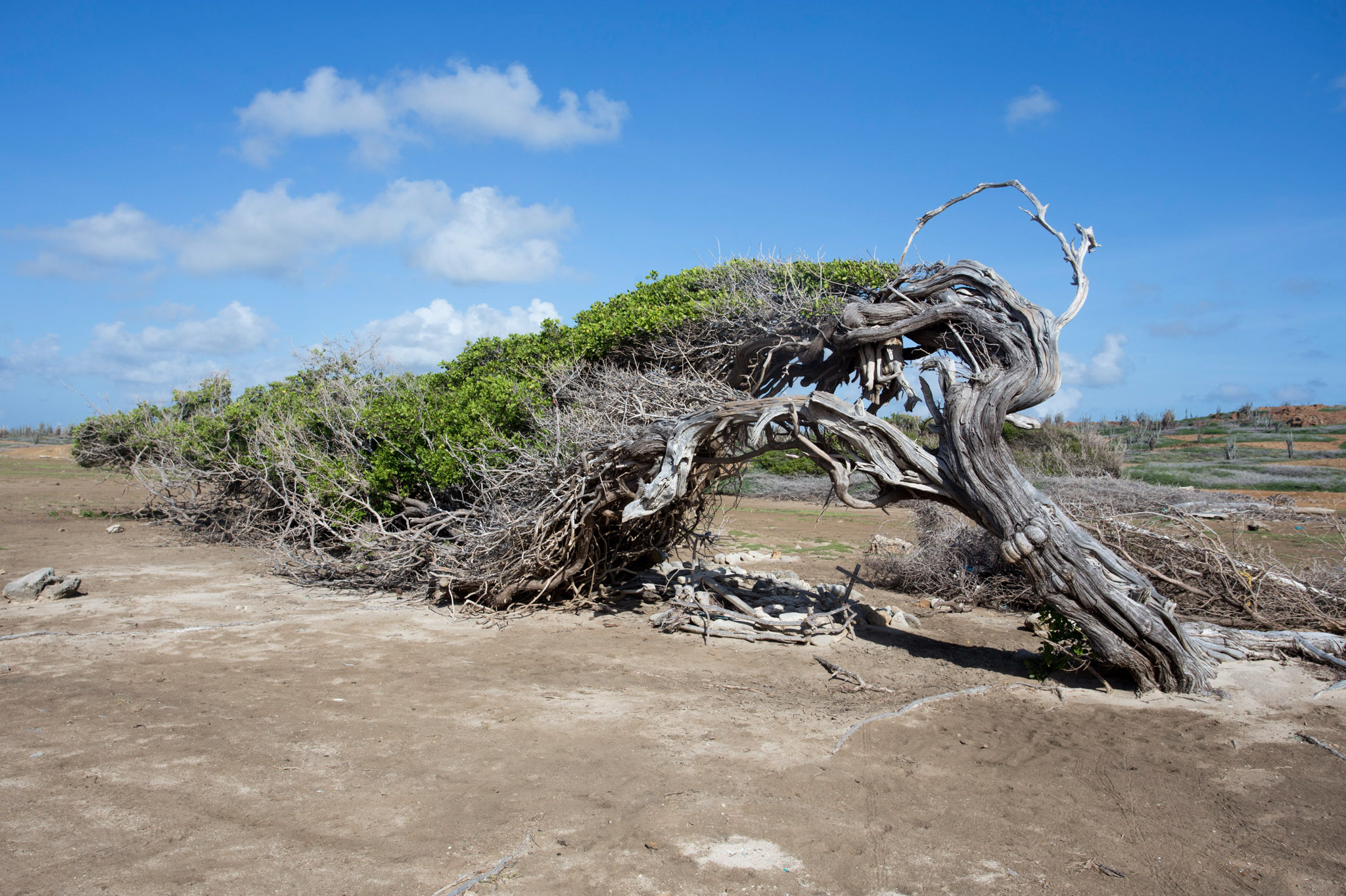 The Longest tree of Bonaire