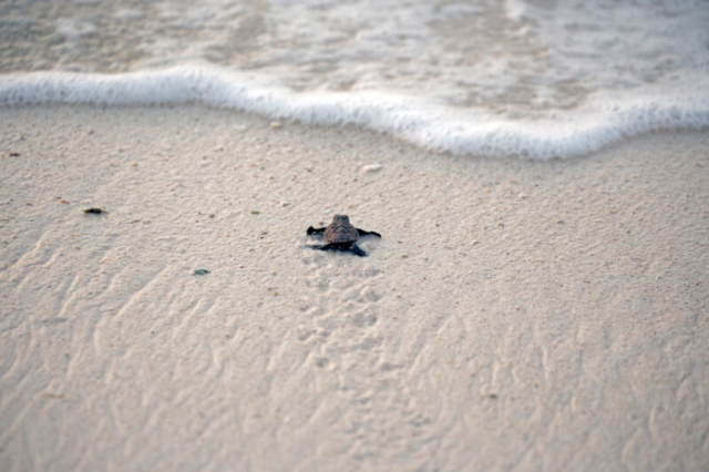 Hatchlings of Bonaire